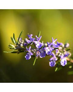 Rosemary (Morocco) Essential Oil